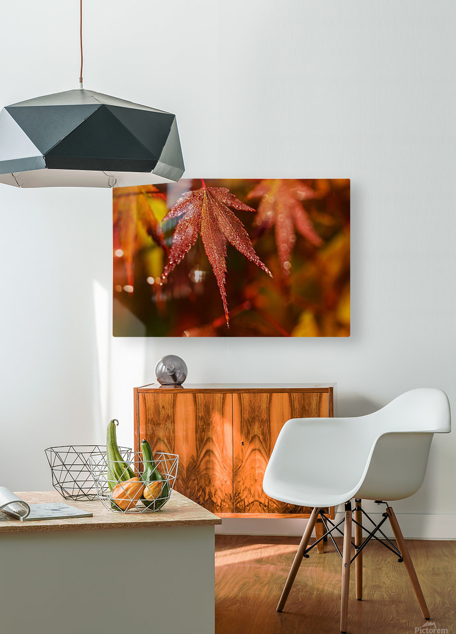 Japanese Maple (Acer palmatum) turning red in the autumn; Astoria, Oregon, United States of America  HD Metal print with Floating Frame on Back