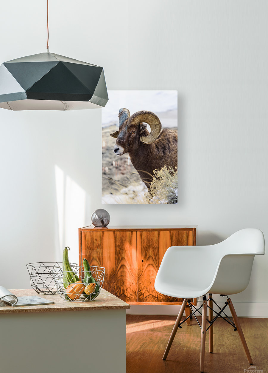 Close up of Bighorn ram (ovis canadensis) with broomed (splintered) horn tips resulting from butting heads with other rams, Shoshone National Forest; Wyoming, United States of America  HD Metal print with Floating Frame on Back