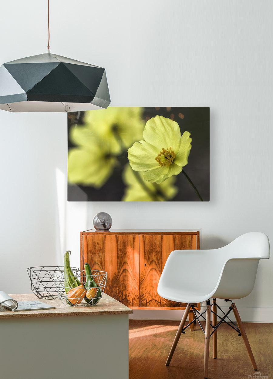 McConnell's Poppy (Papaver mcconnellii); Dawson City, Yukon, Canada  HD Metal print with Floating Frame on Back