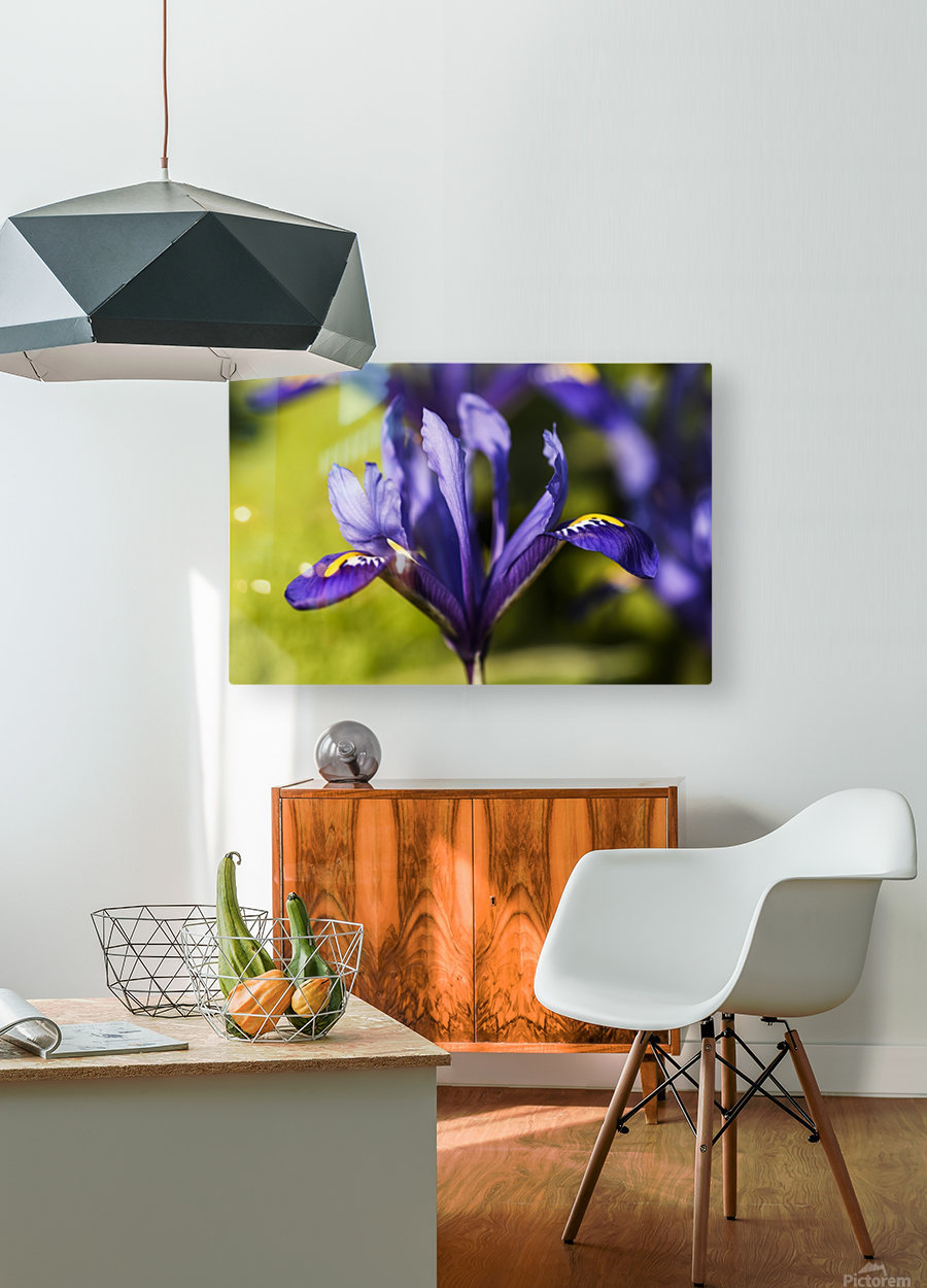 Dwarf Iris blooms in February; Oregon, United States of America  HD Metal print with Floating Frame on Back