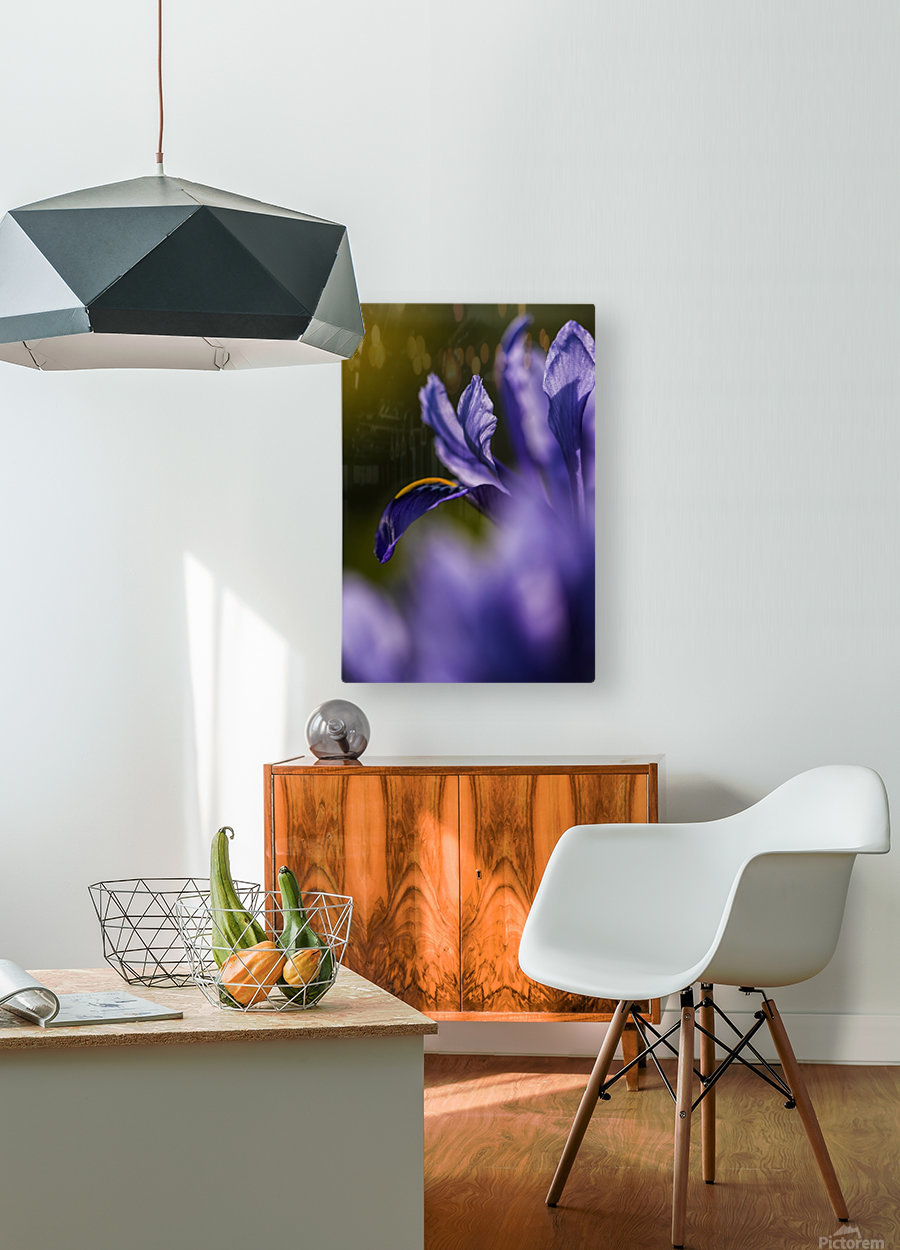The dwarf Iris is one of the first flowers to bloom in the spring; Oregon, United States of America  HD Metal print with Floating Frame on Back