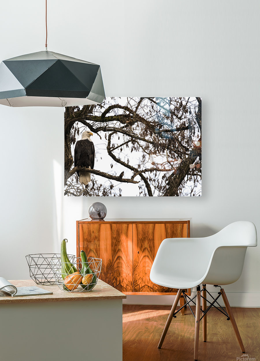 Bald Eagle (Haliaeetus leucocephalus) perched in a tree, Cowichan Bay; British Columbia, Canada  HD Metal print with Floating Frame on Back