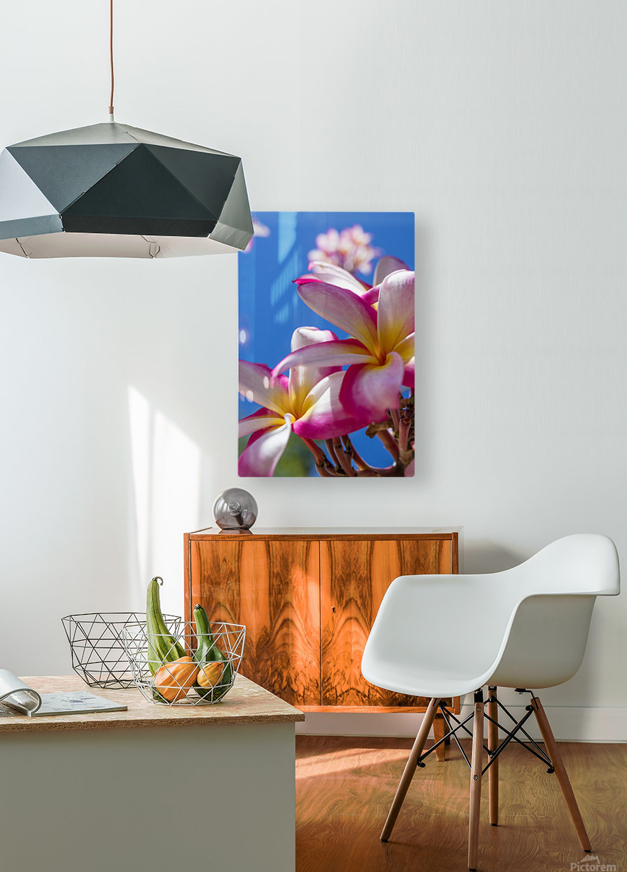 Close-up of pink plumeria flowers and blue sky; Lanai, Hawaii, United States of America  HD Metal print with Floating Frame on Back