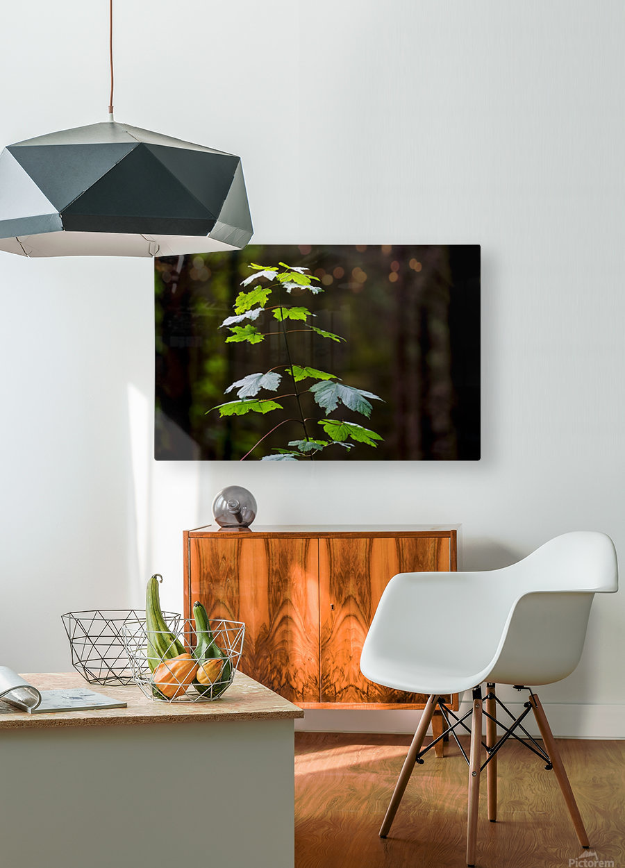 A new green plant grows up towards the sunlight; North Yorkshire, England  HD Metal print with Floating Frame on Back