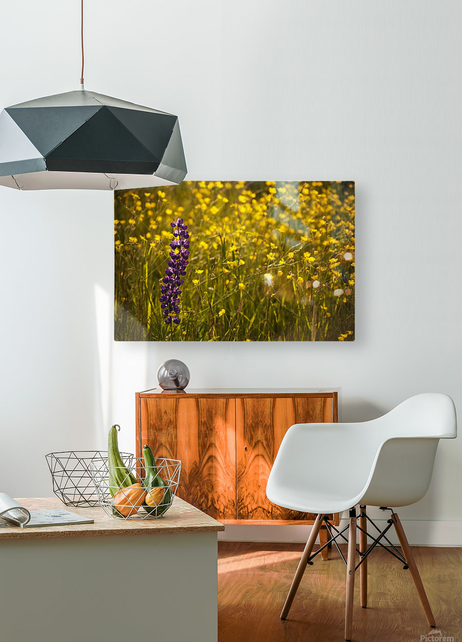 Garden lupin (Lupinus polyphyllus) and buttercups (Ranunculus) in a field at sunset; Fall River, Nova Scotia, Canada  HD Metal print with Floating Frame on Back