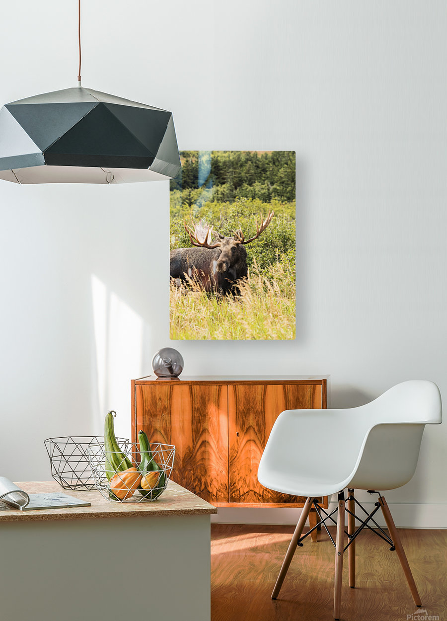 Bull moose (alces alces) in the rutting period, Powerline Pass, South-central Alaska; Anchorage, Alaska, United States of America  HD Metal print with Floating Frame on Back