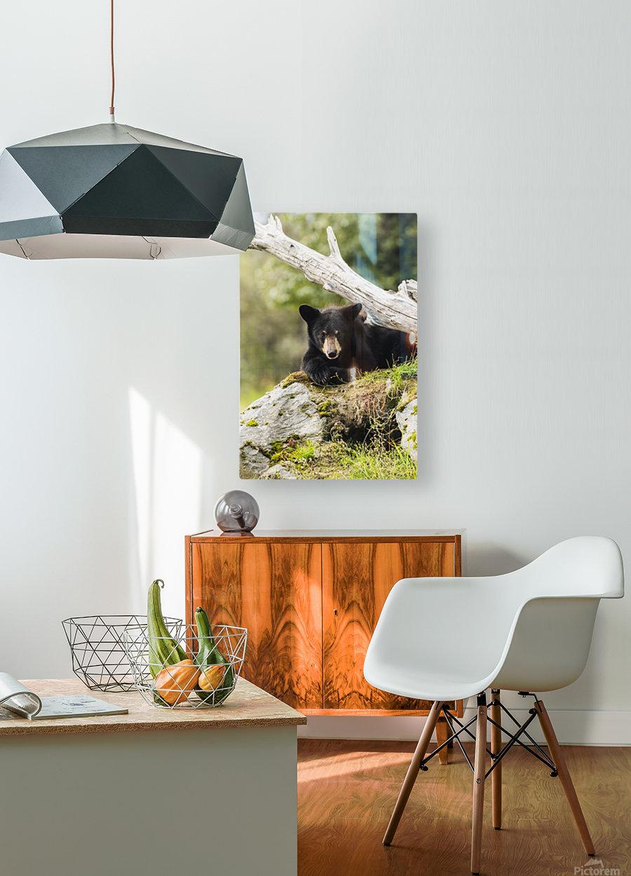Black bear cub (ursus americanus), captive at the Alaska Wildlife Conservation Center, South-central Alaska; Portage, Alaska, United States of America  HD Metal print with Floating Frame on Back