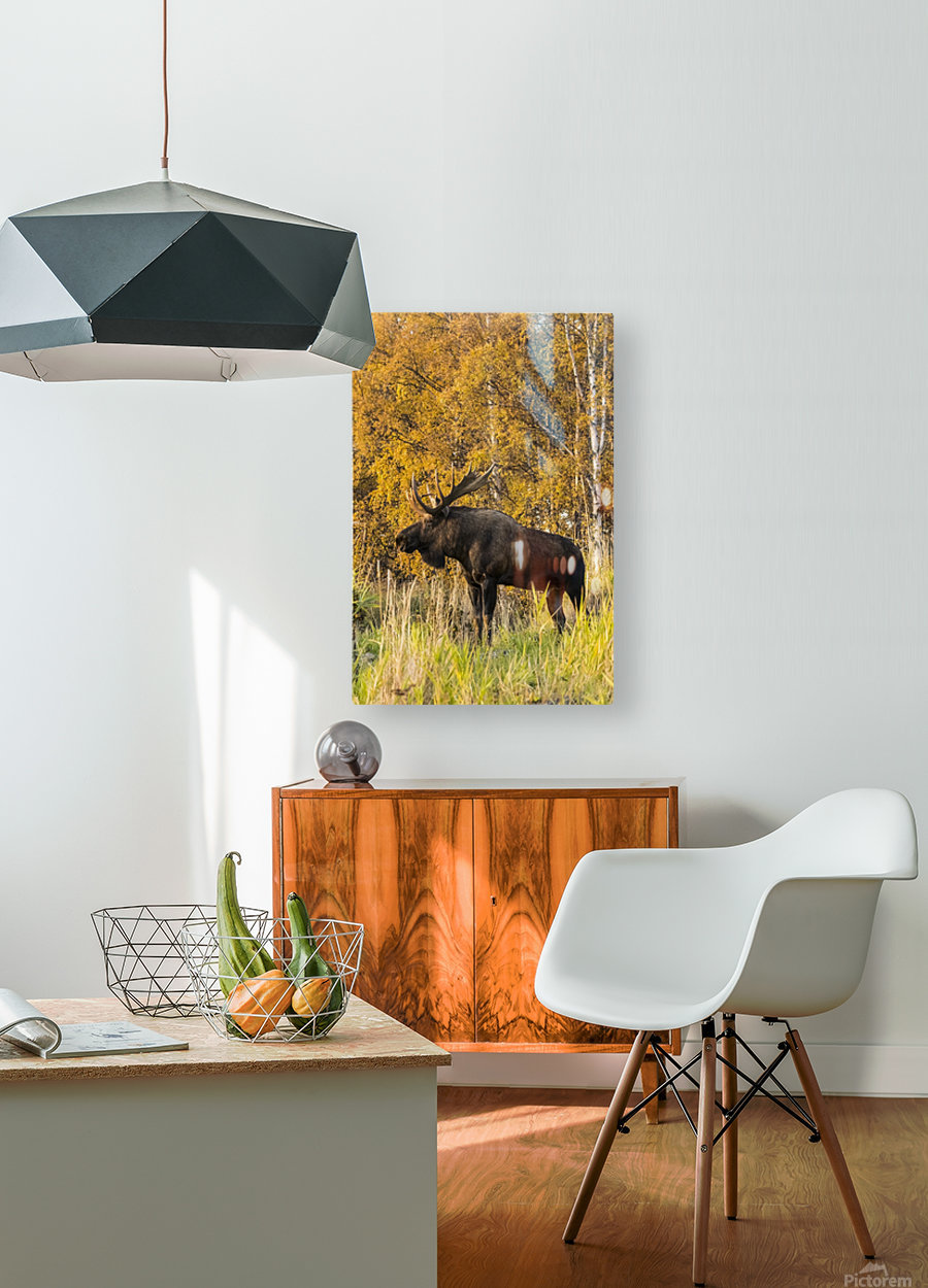 Bull moose (alces alces) with antlers, South-central Alaska; Anchorage, Alaska, United States of America  HD Metal print with Floating Frame on Back