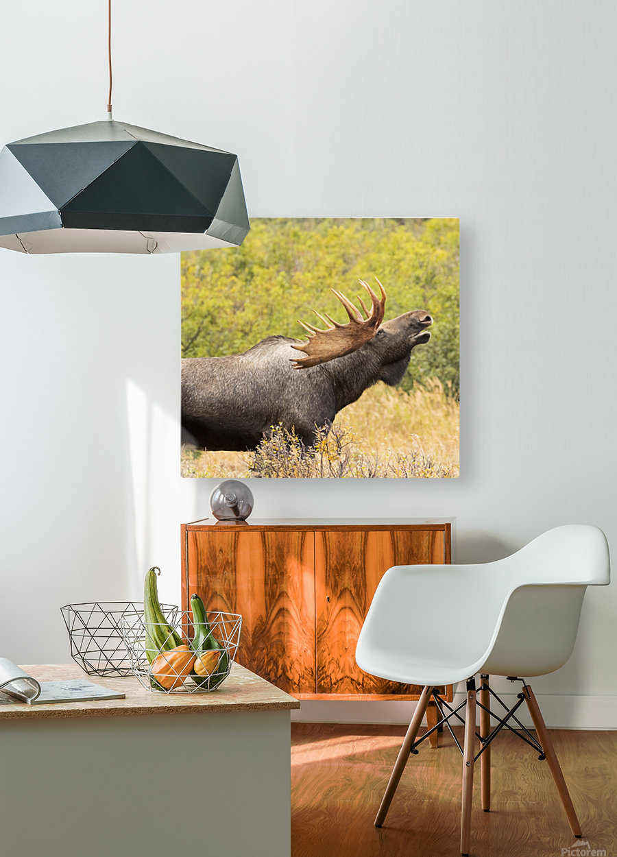 Bull moose (alces alces) doing flehman response to check on cow moose during the rut, South-central Alaska; United States of America  HD Metal print with Floating Frame on Back