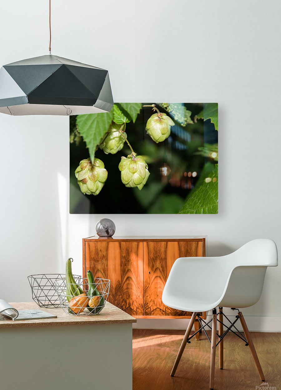 Hop cones  HD Metal print with Floating Frame on Back