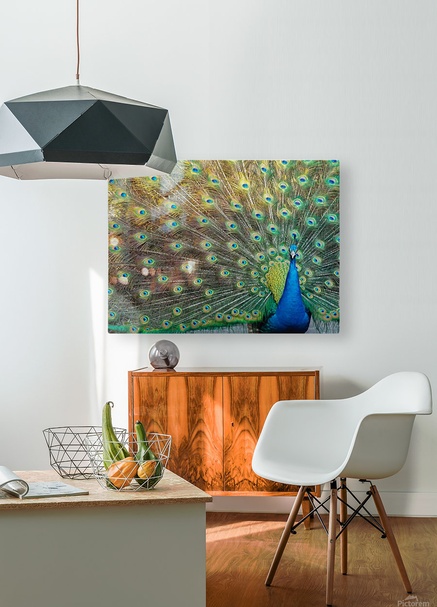Peacock Feathers Full Frame  HD Metal print with Floating Frame on Back