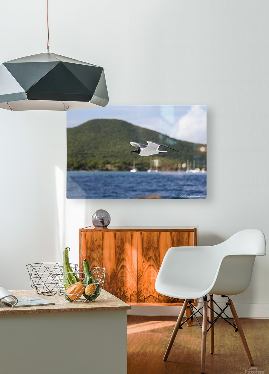 Laughing Tern in Flight  HD Metal print with Floating Frame on Back
