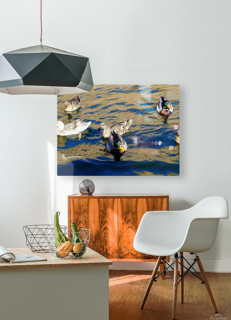 Ducks on Saguaro Lake   Impression métal HD avec cadre flottant sur le dos