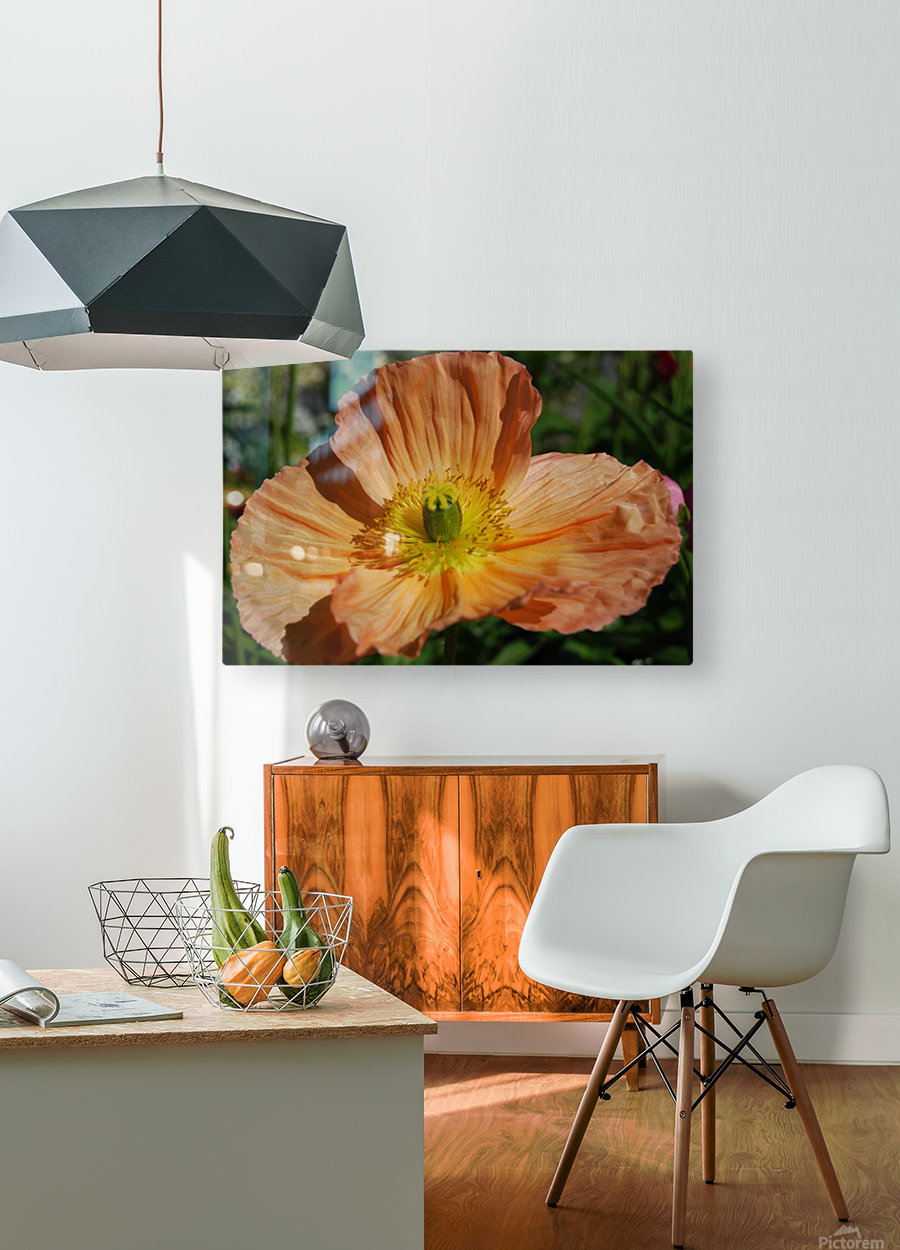 A Poppy Flower Growing  HD Metal print with Floating Frame on Back