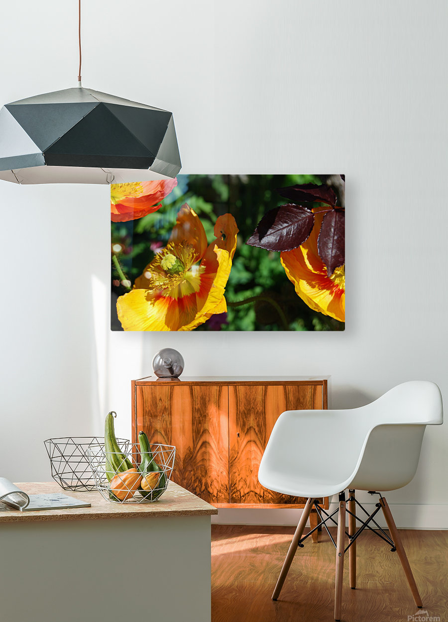 Yellow Poppies Growing in a Garden  HD Metal print with Floating Frame on Back