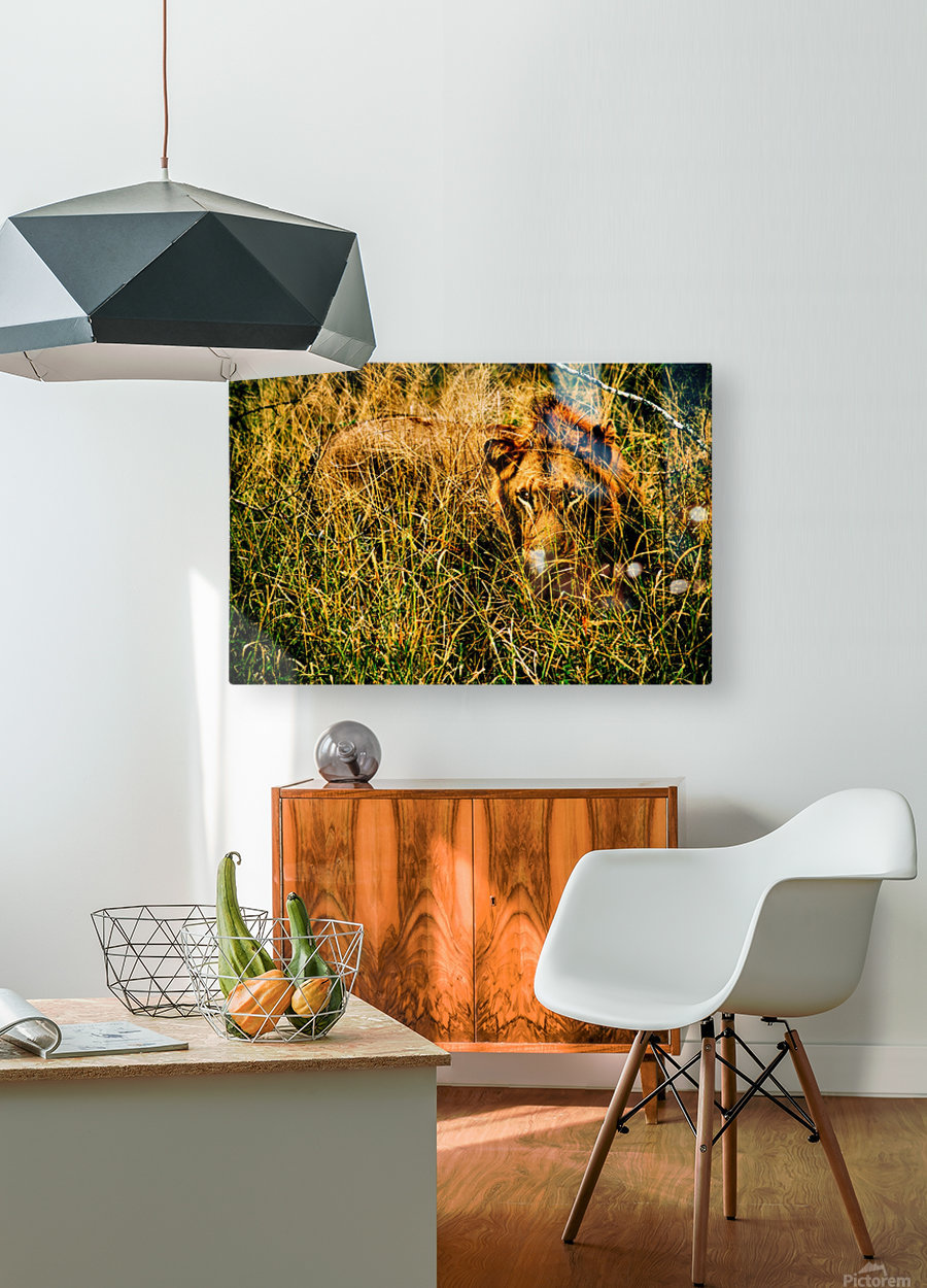 Safari Lion Days 1  HD Metal print with Floating Frame on Back