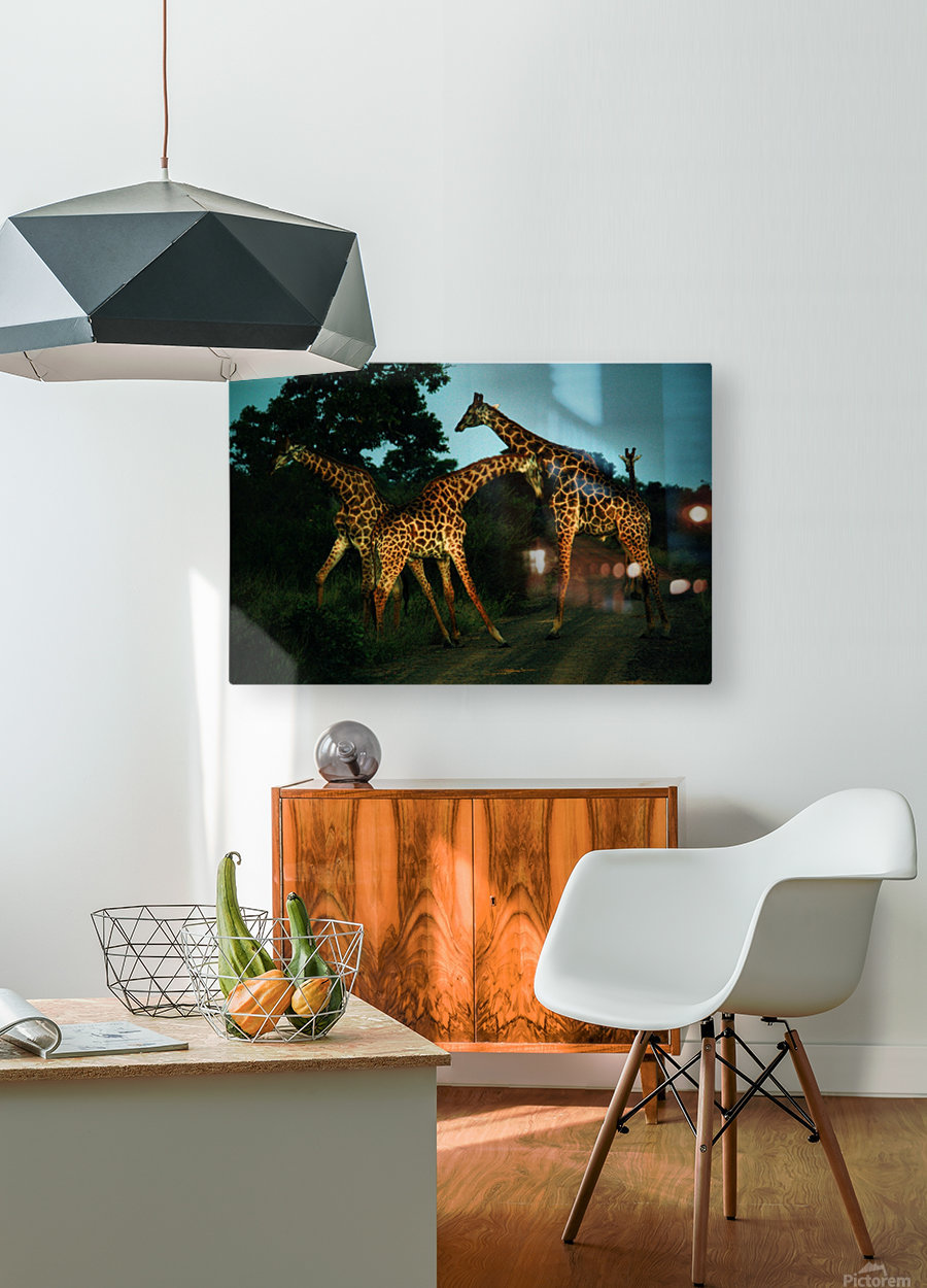 Giraffes South Africa  HD Metal print with Floating Frame on Back