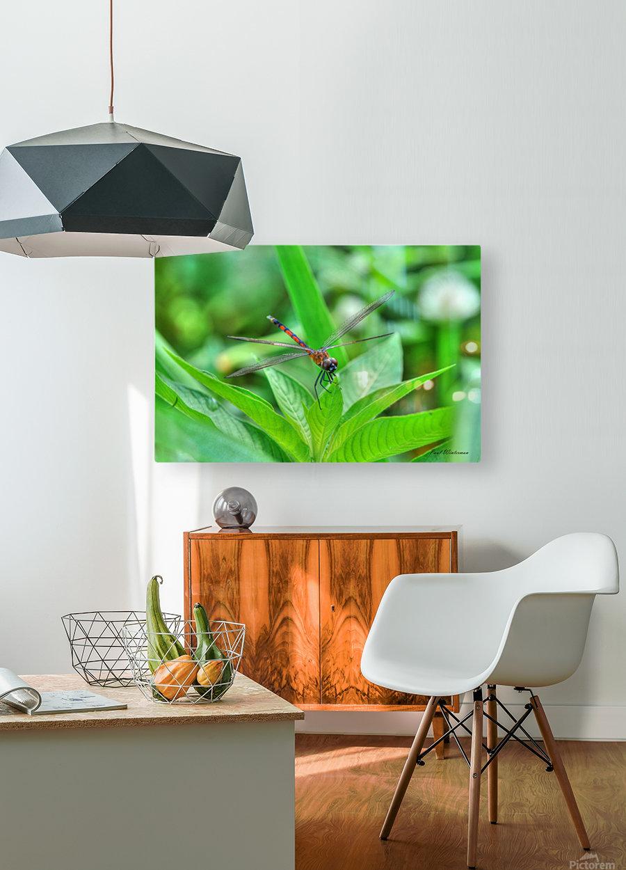 12-4 Orange Dragonfly  HD Metal print with Floating Frame on Back