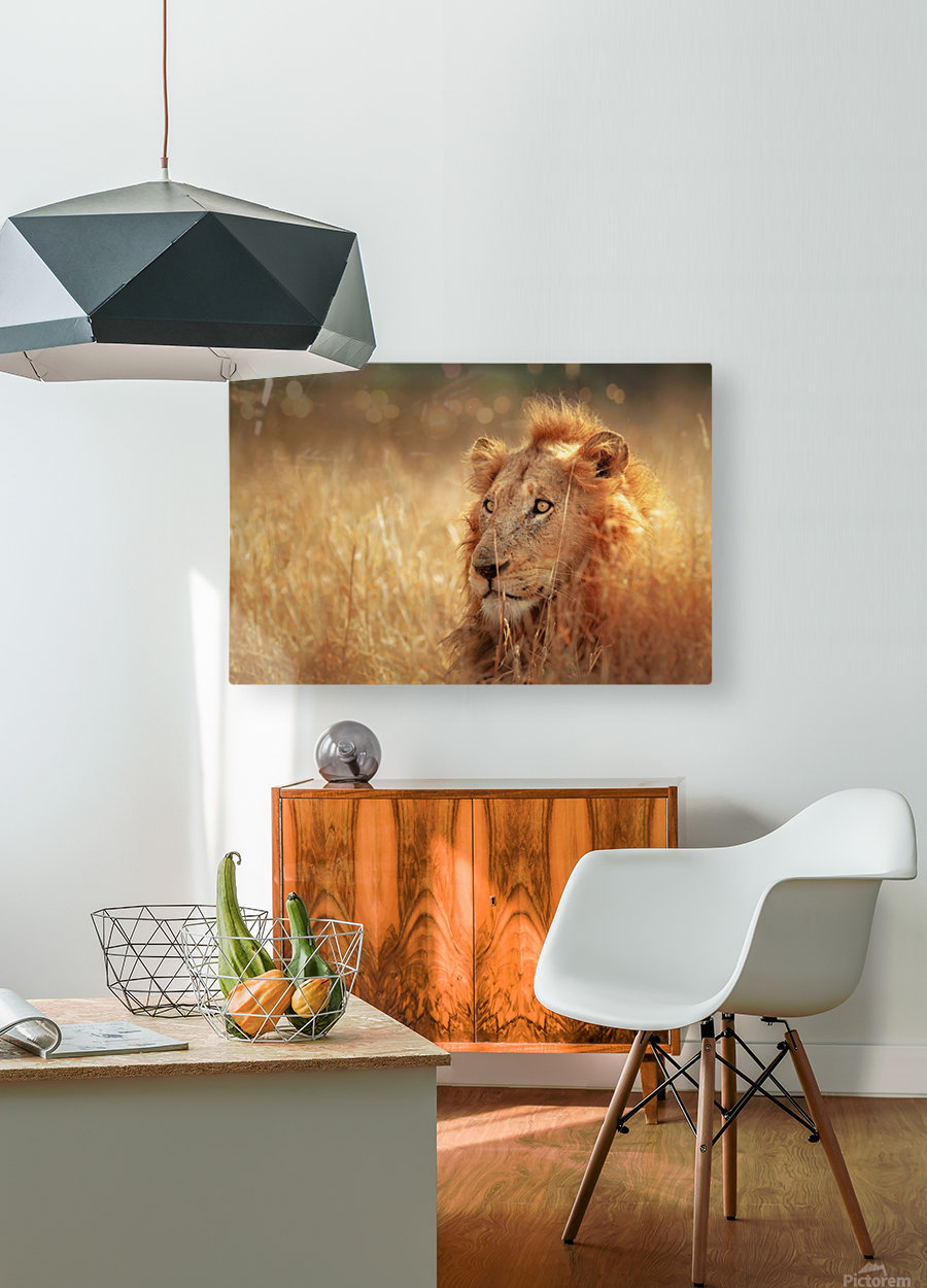 Lion in grassland  HD Metal print with Floating Frame on Back