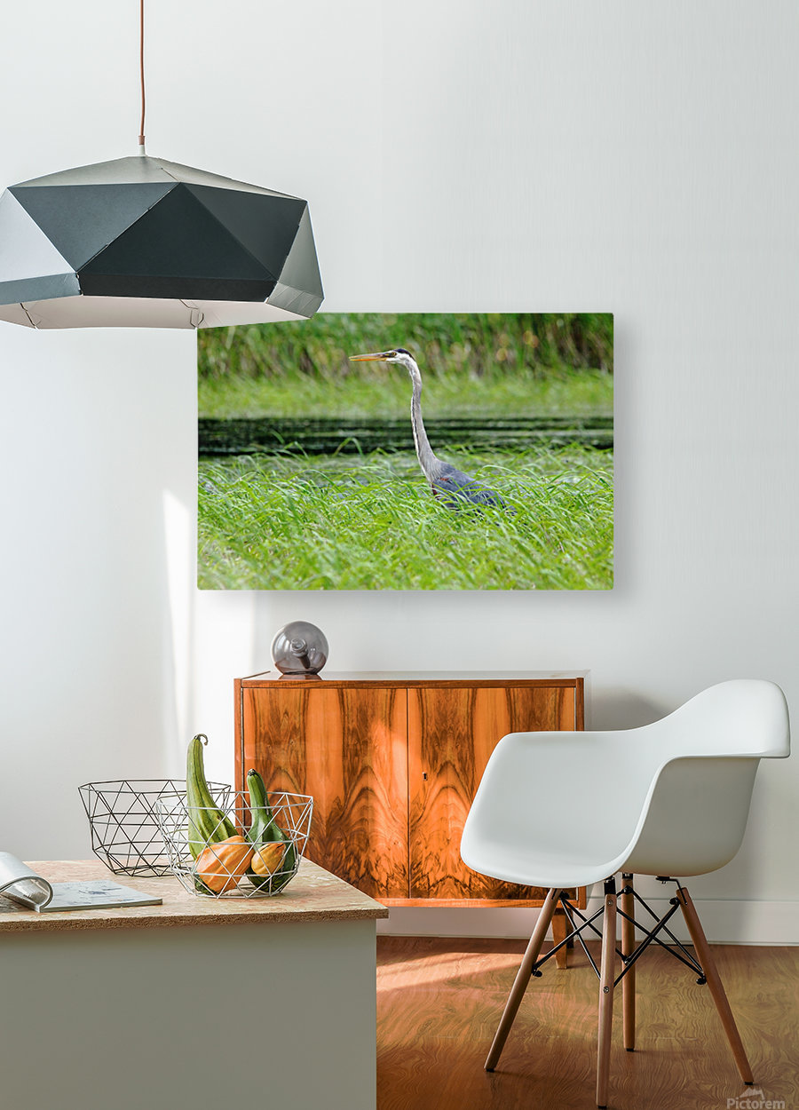 Great Blue Heron  HD Metal print with Floating Frame on Back
