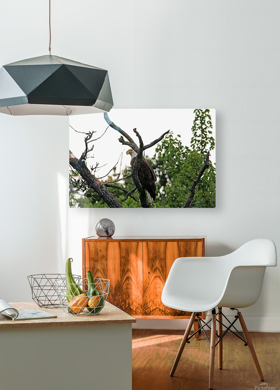 Fierce Bald Eagle  HD Metal print with Floating Frame on Back