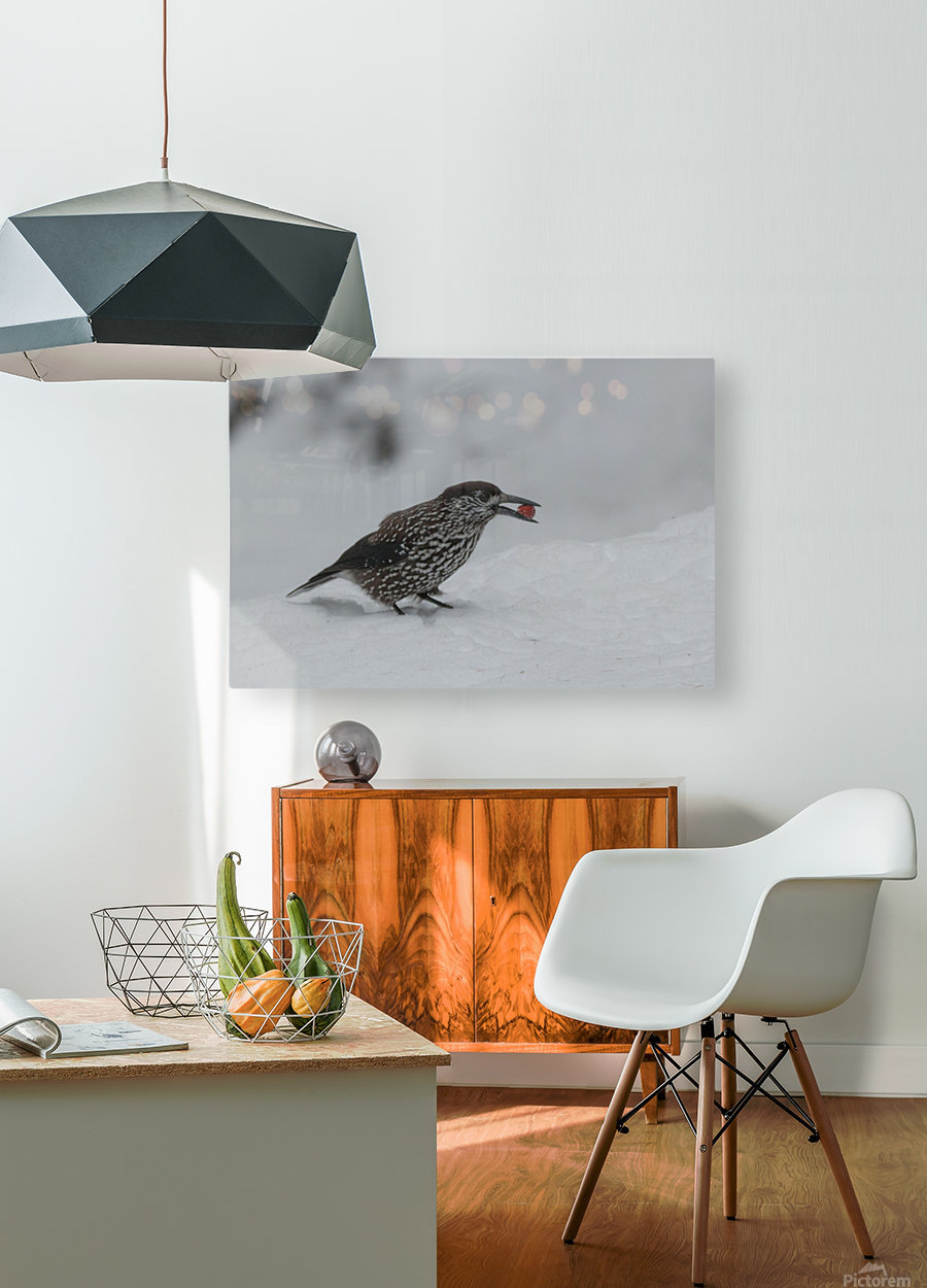 Spotted nutcracker in the snow  HD Metal print with Floating Frame on Back