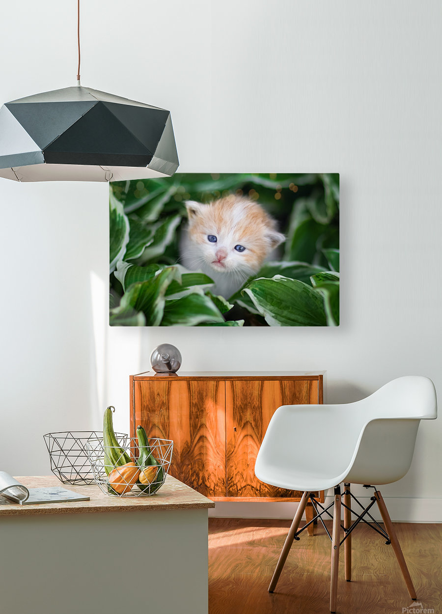 Orange Kitten  HD Metal print with Floating Frame on Back