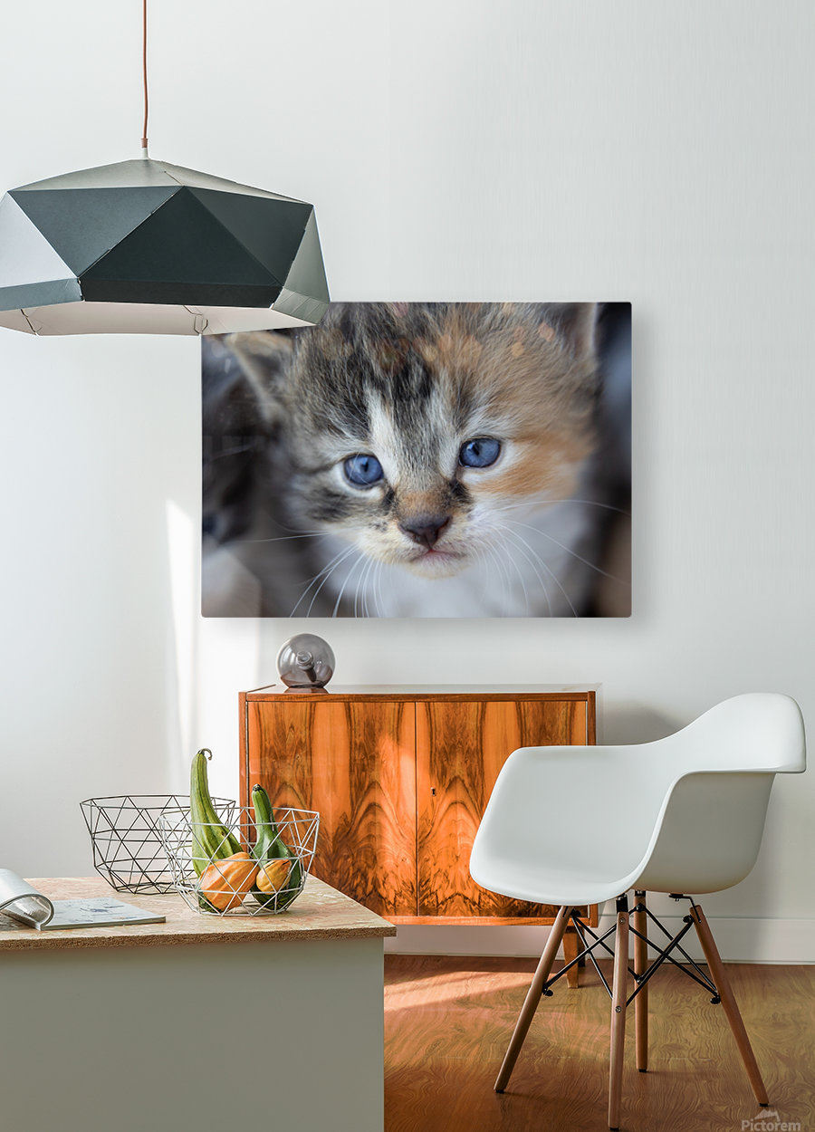 Kitten Face  HD Metal print with Floating Frame on Back