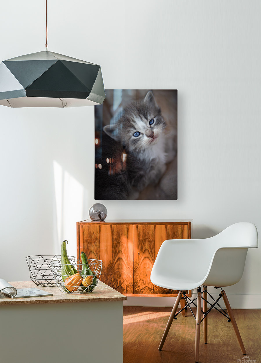 Gray Kitten  HD Metal print with Floating Frame on Back