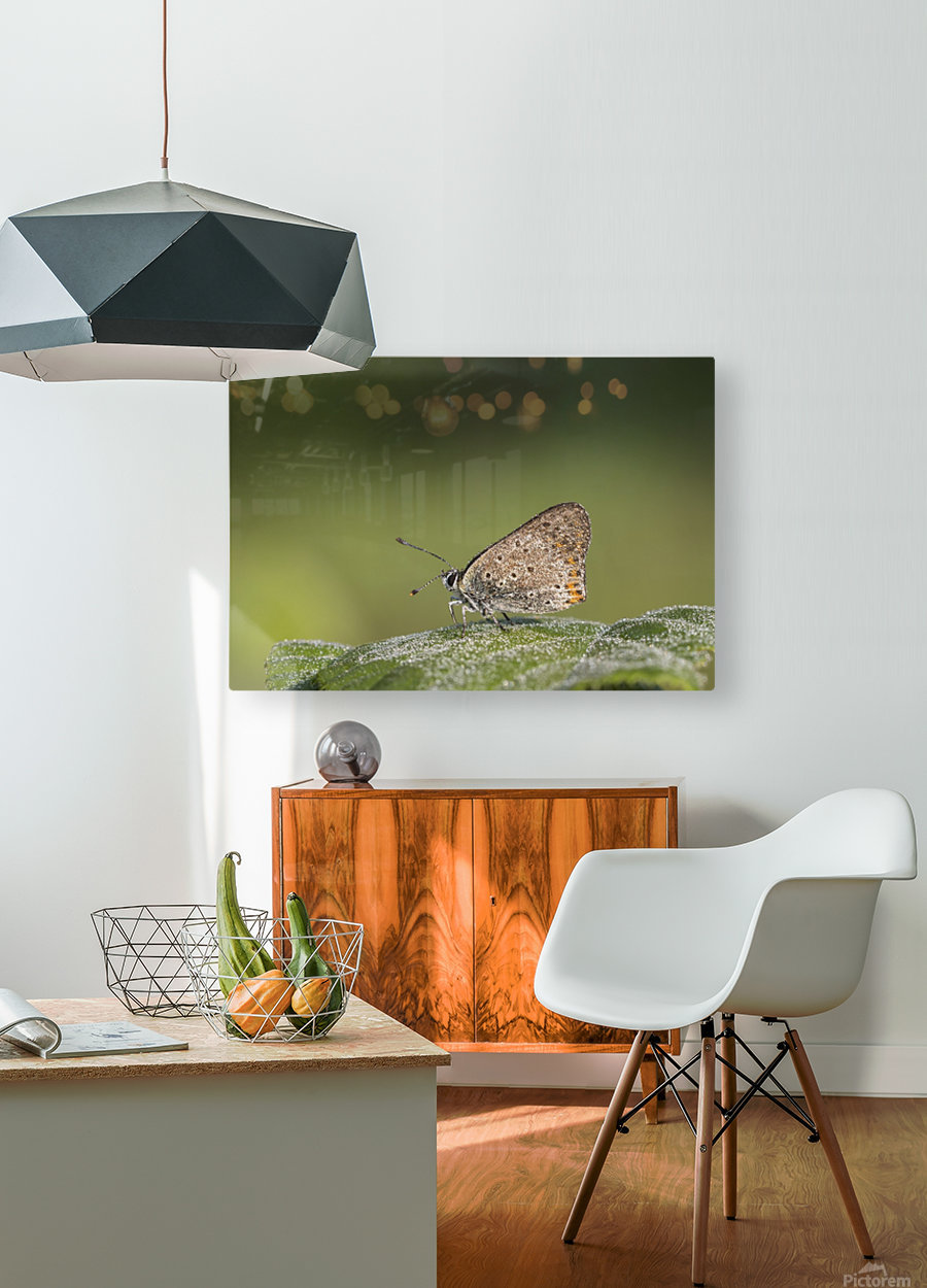Lycaena tytirus butterfly  HD Metal print with Floating Frame on Back
