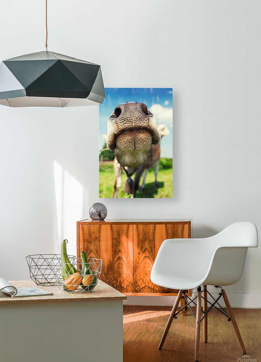funny nose of a curious cow  HD Metal print with Floating Frame on Back