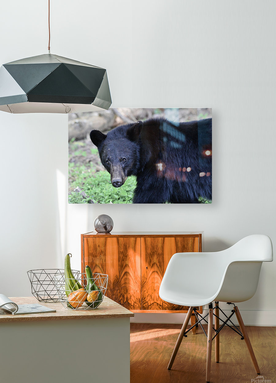 2350- black bear  HD Metal print with Floating Frame on Back