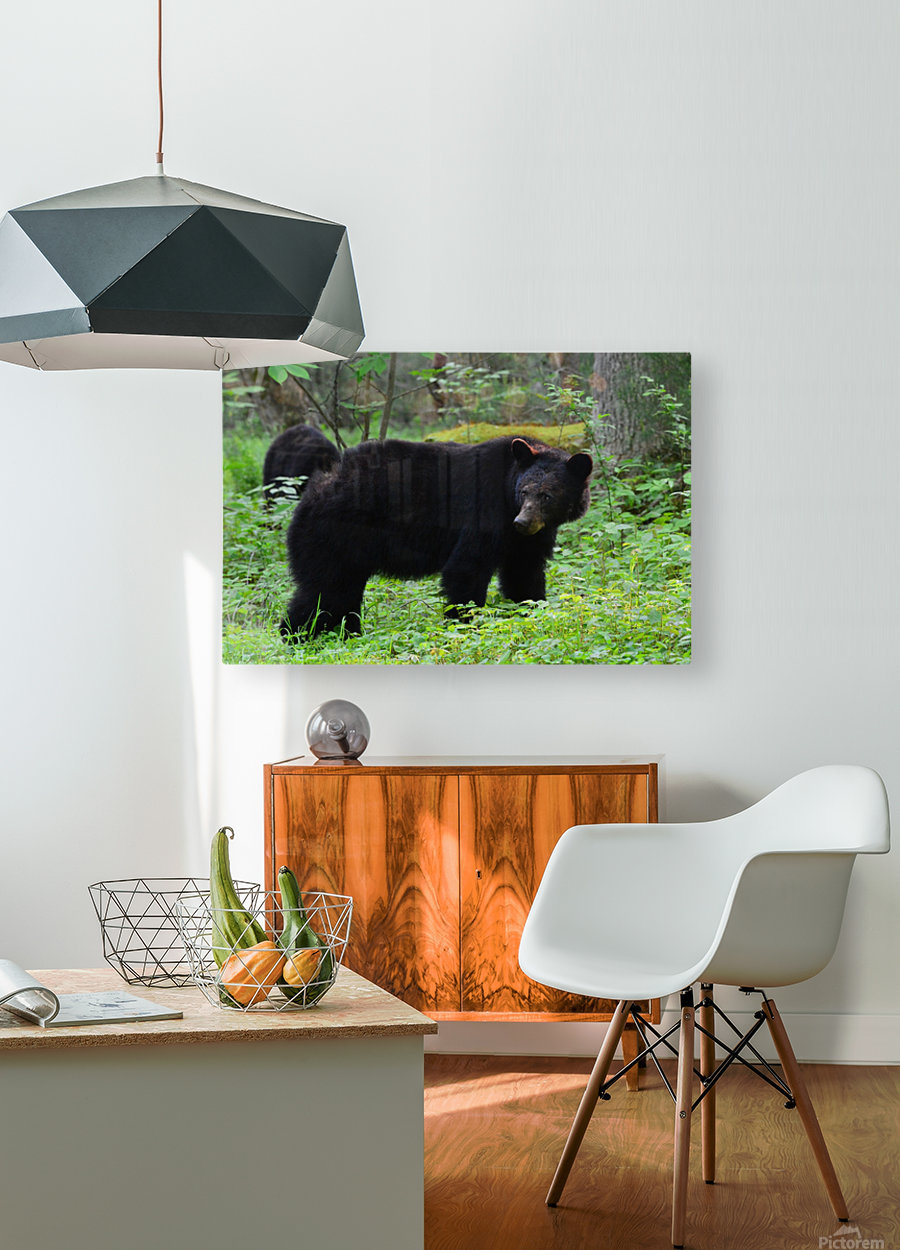 3299-Black Bear  HD Metal print with Floating Frame on Back