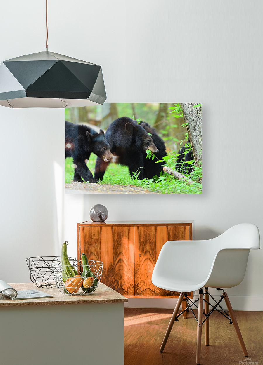 3540-Bear walk  HD Metal print with Floating Frame on Back