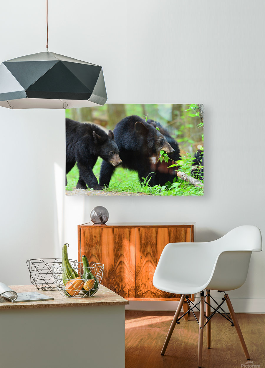 3541- Black bear  HD Metal print with Floating Frame on Back