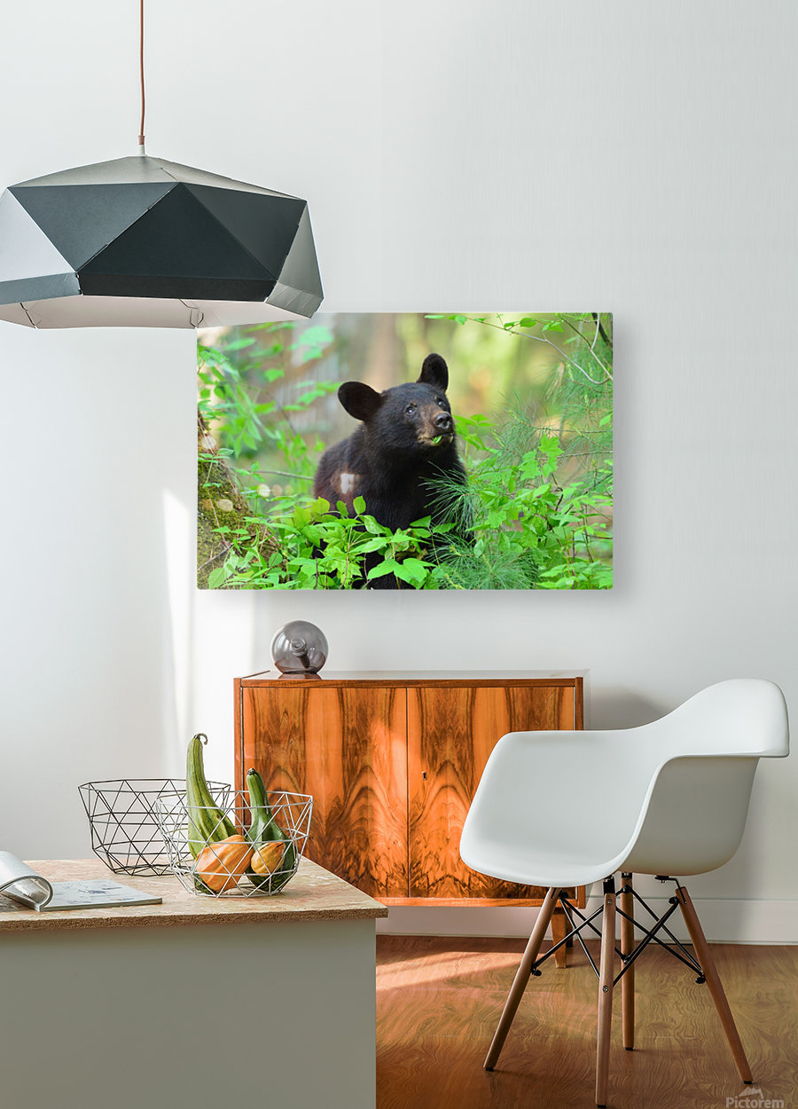 3597-Black Bear  HD Metal print with Floating Frame on Back