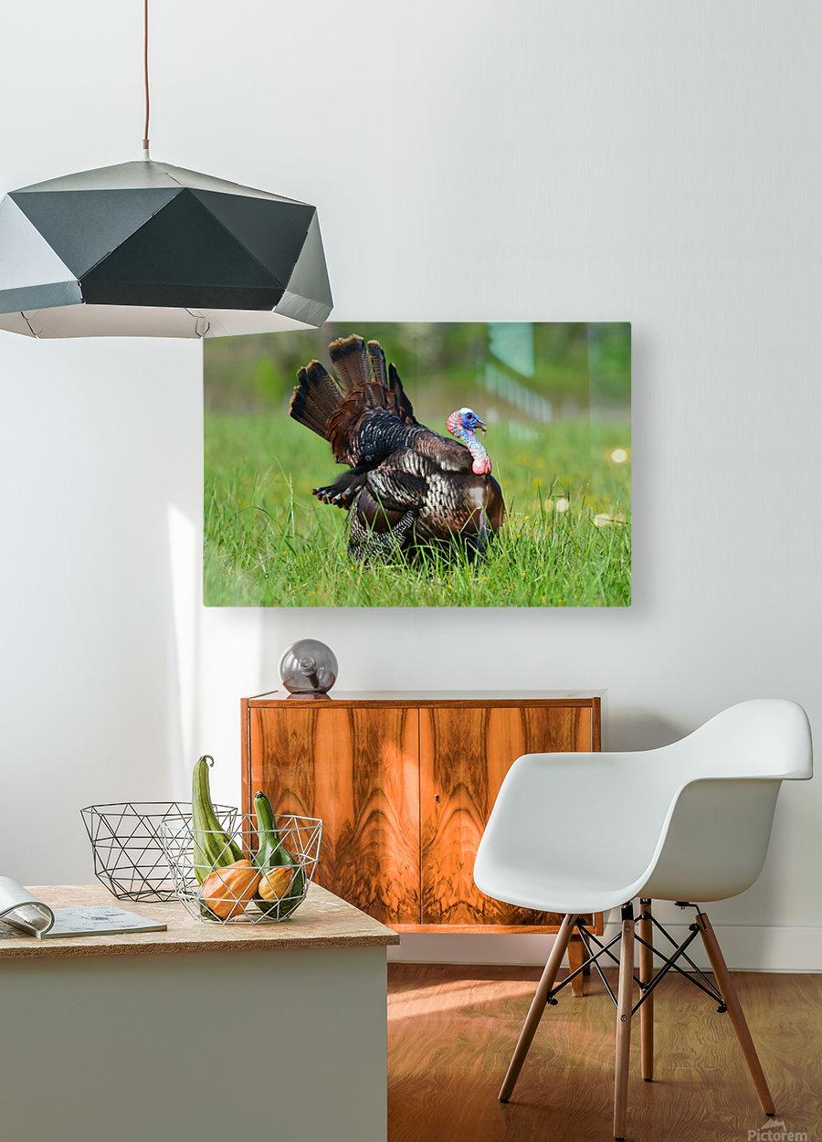 12_Strutting Tom  HD Metal print with Floating Frame on Back