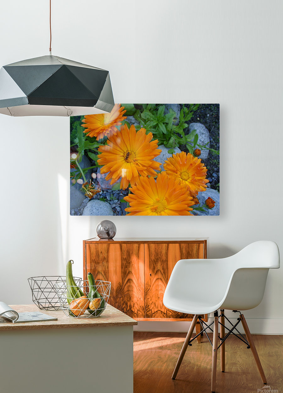 Orange Daisies & Bee  HD Metal print with Floating Frame on Back