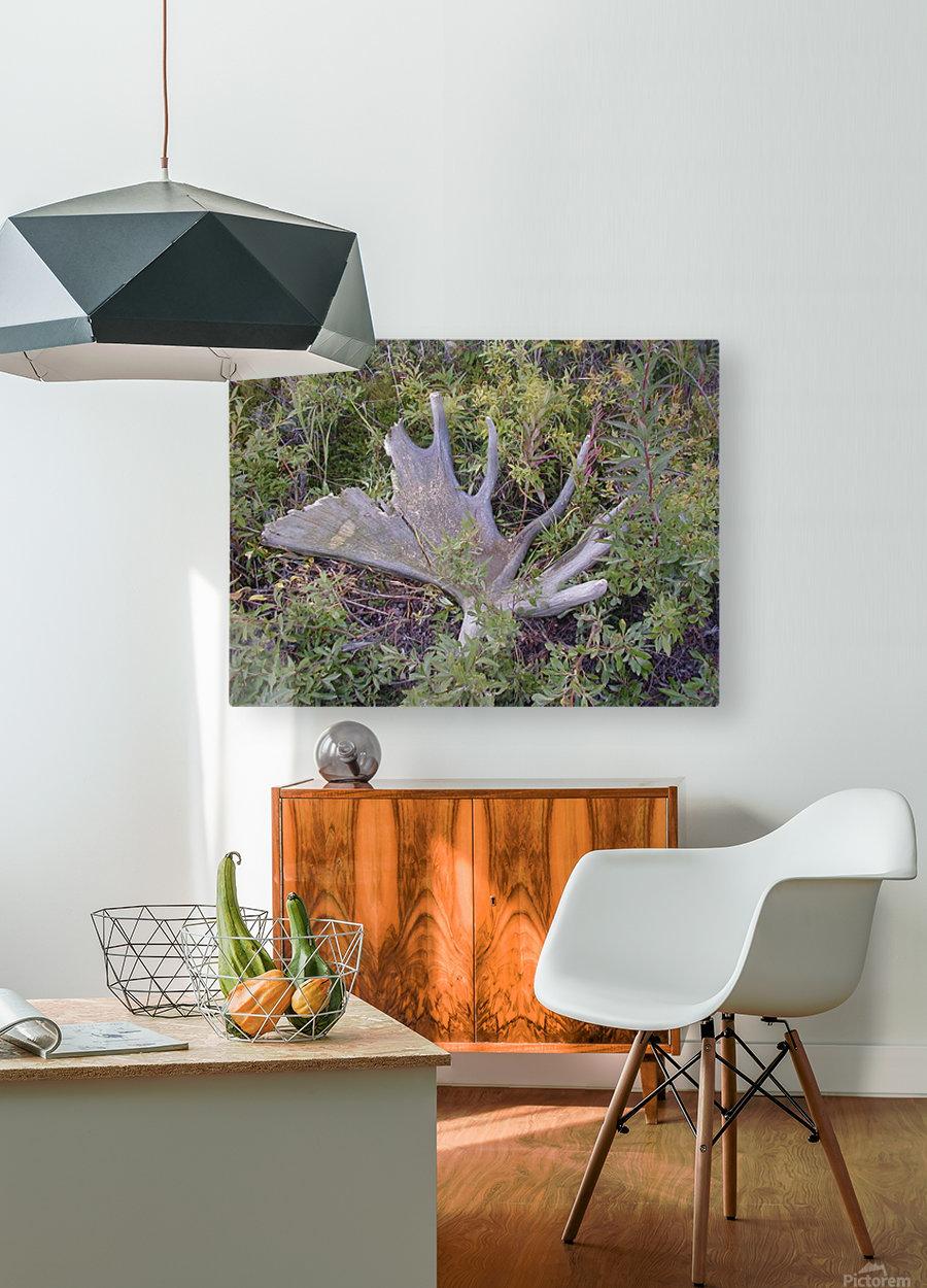 Moose antler  HD Metal print with Floating Frame on Back