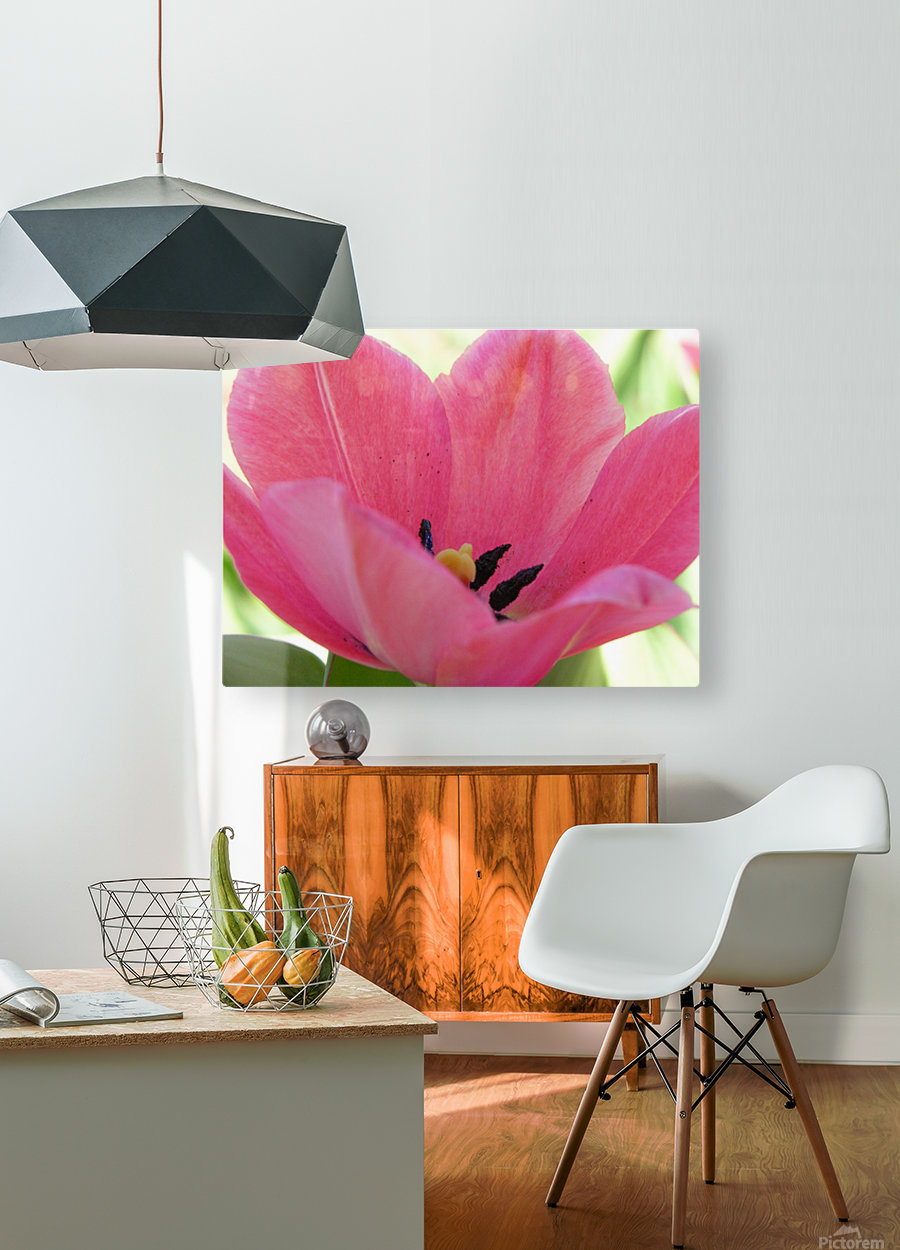 Beautiful Pink Tulip Photograph  HD Metal print with Floating Frame on Back