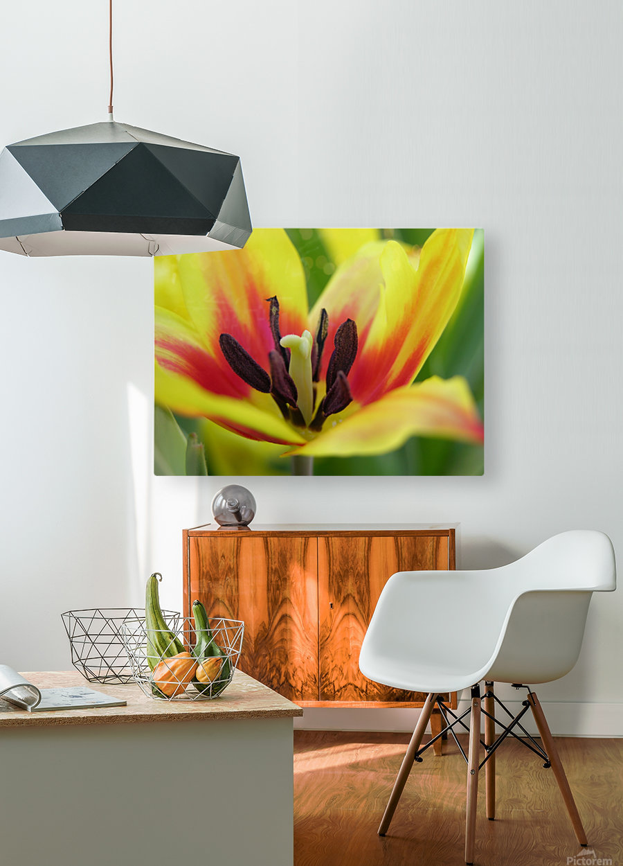 Yellow Tulip Photograph  HD Metal print with Floating Frame on Back
