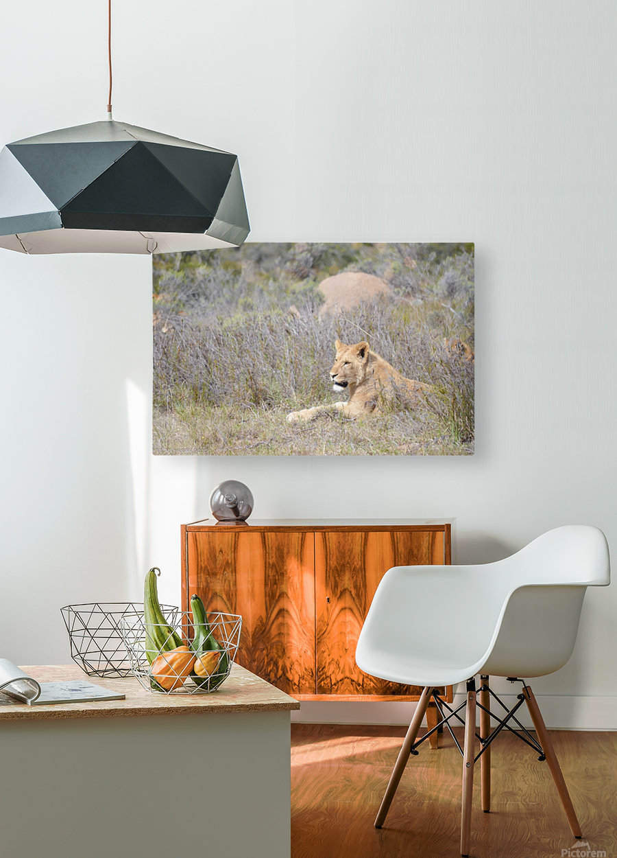 Lioness  HD Metal print with Floating Frame on Back
