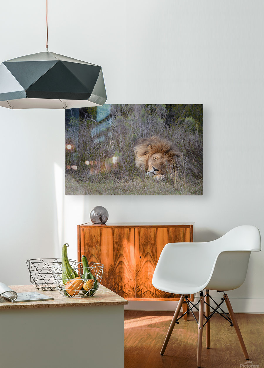 The Lion Sleeps Tonight  HD Metal print with Floating Frame on Back