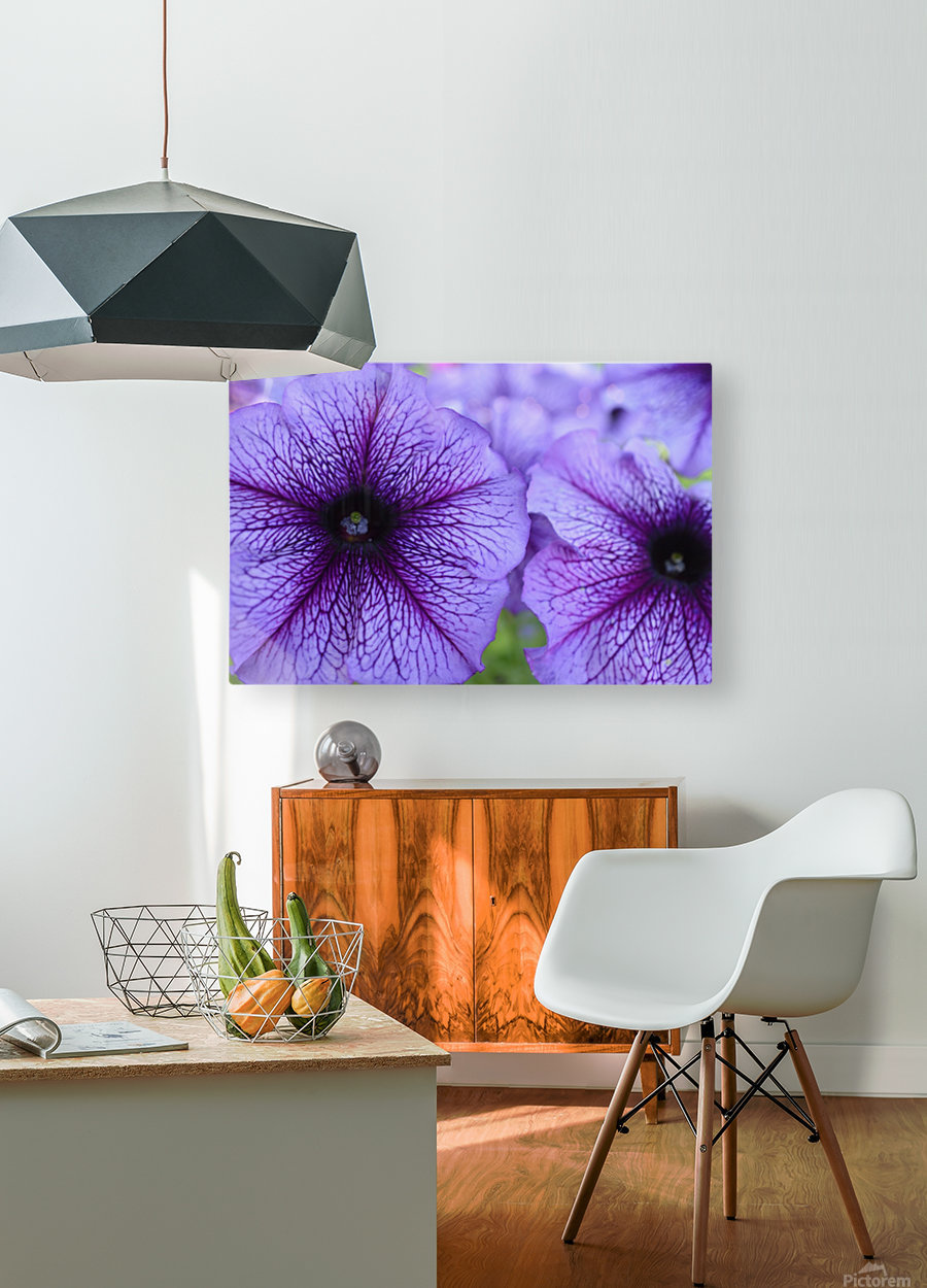 Purple Petunia Garden Photograph  HD Metal print with Floating Frame on Back