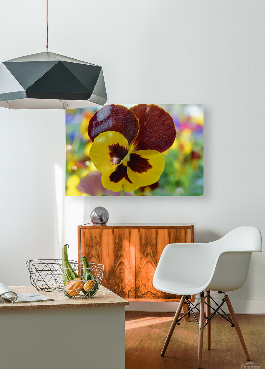 Yellow Pansy Covered In Due Drops  HD Metal print with Floating Frame on Back