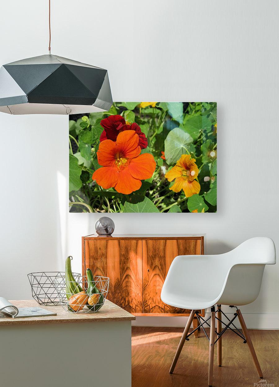 Nodding Nasturtiums  HD Metal print with Floating Frame on Back