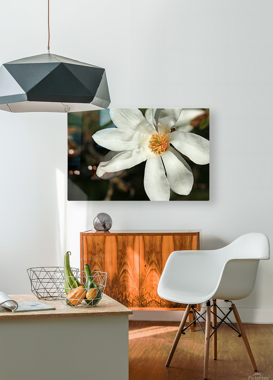 White Magnolia  HD Metal print with Floating Frame on Back