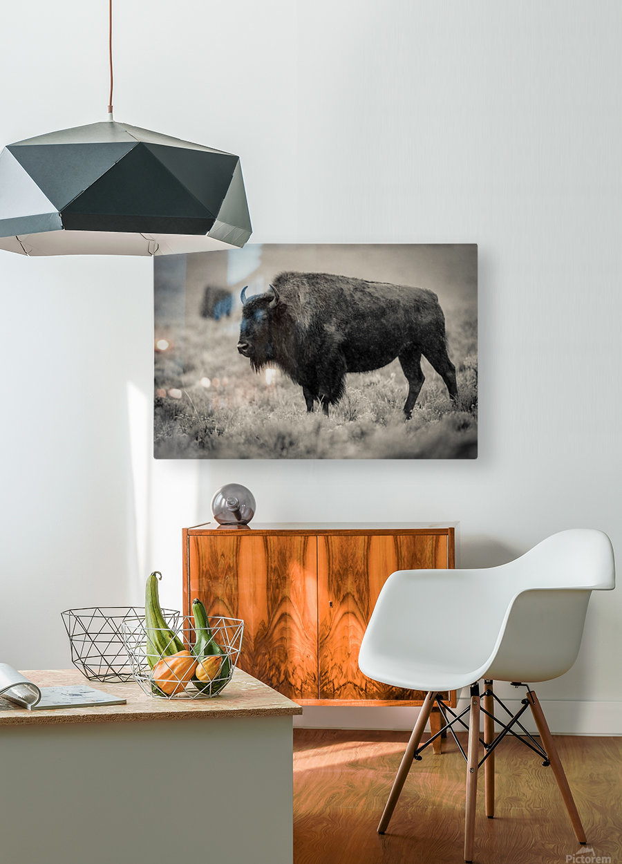 Bison of the Far West  HD Metal print with Floating Frame on Back