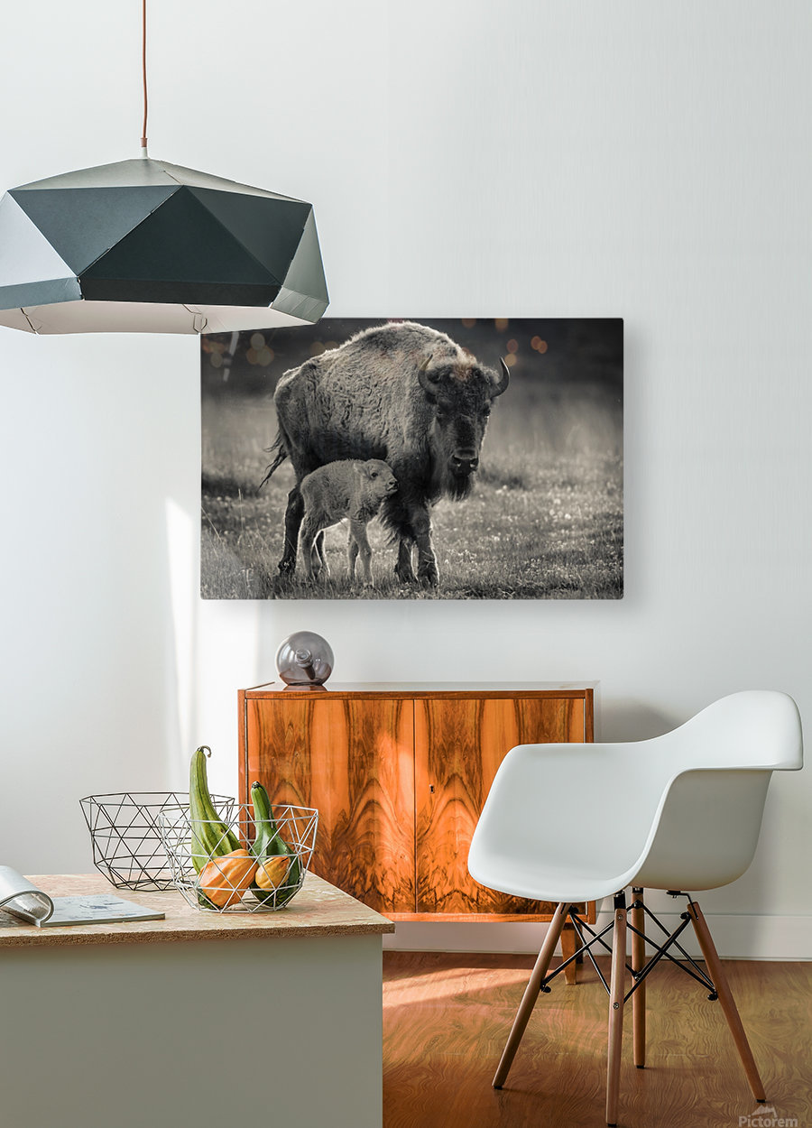 Bison love  HD Metal print with Floating Frame on Back