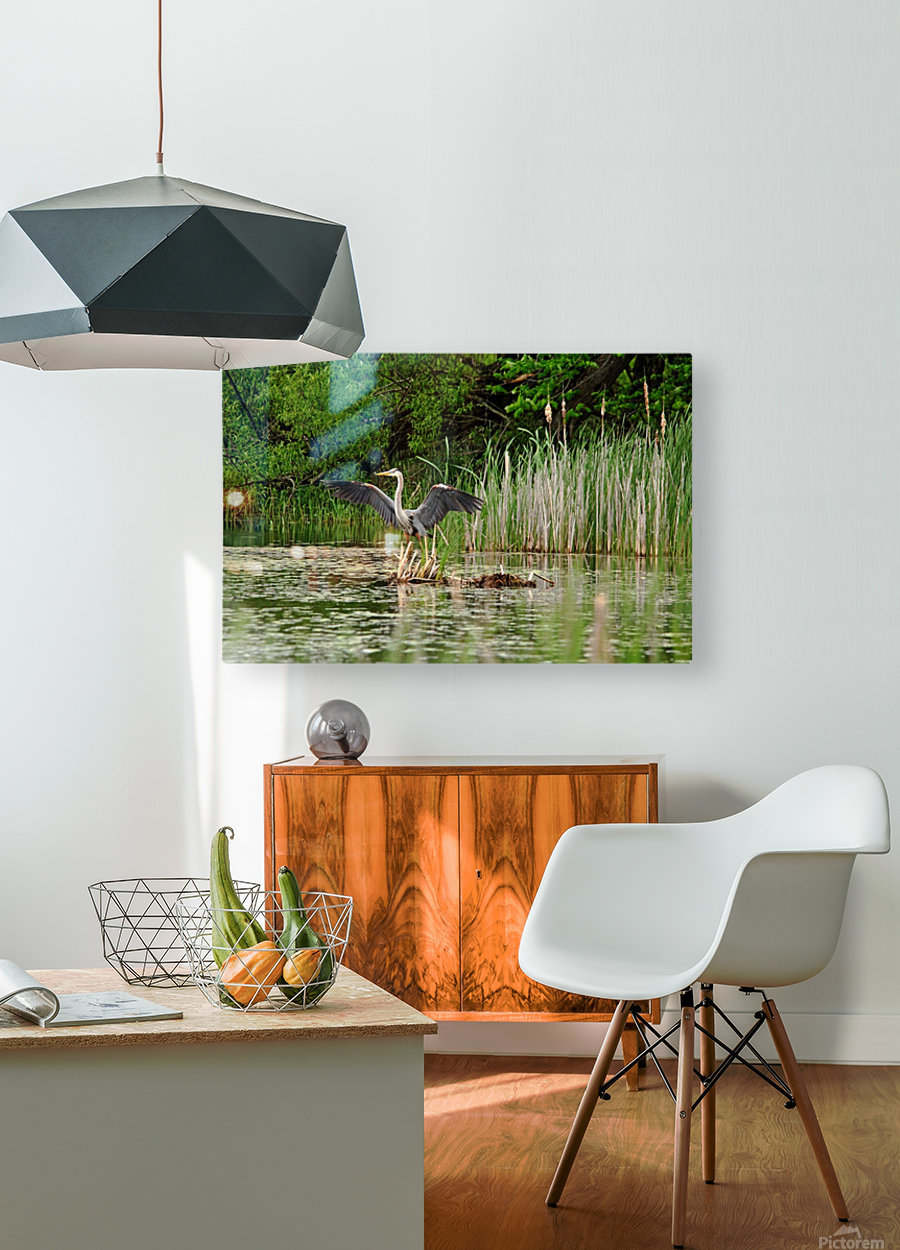 Great Blue Heron Landing  HD Metal print with Floating Frame on Back